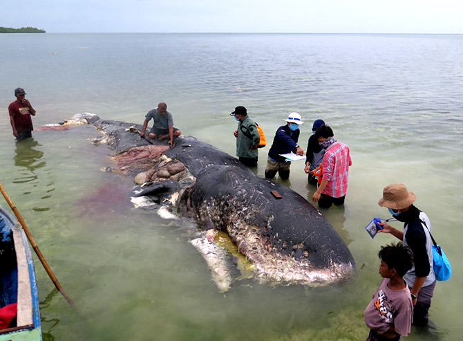 115 plastic cups, 25 bags and more found inside dead whale in Indonesia