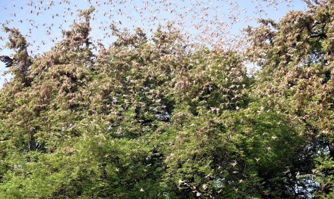 India faces its worst locust swarm in nearly 30 years