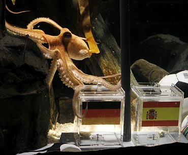 Octopus predicts German defeat in semis vs Spain