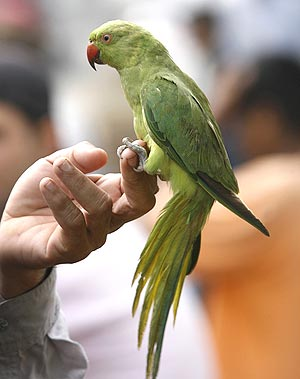 Parakeet Mani