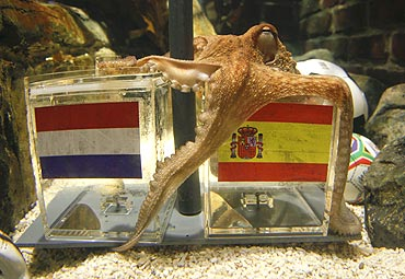 Two year-old octopus Paul predicts Spain's victory over The Netherlands