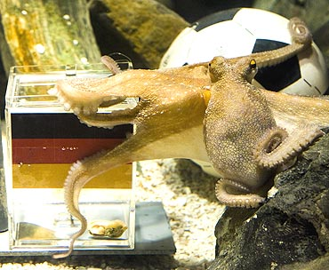 Paul, an octopus predicts Germany's victory