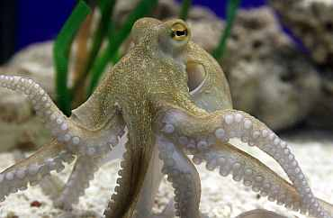 Octopus Paul II at the Sea Life Centre in the western German city of Oberhausen