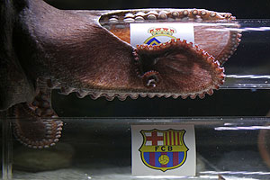 An octopus named Iker predicts the winner of the Champions League semi-final match between Real Madrid and Barcelona, to be played on May 3, by choosing a sardine from a glass cylinder decorated with Real Madrid's badge