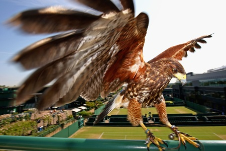 Rufus the Hawk keeps watch at the All England Club at Wimble