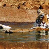 The tigers of Sunderbans are maneaters