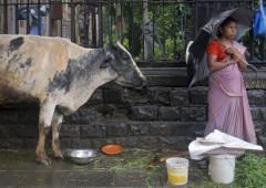 भाजपा नेता जो अवैध गायों का संकट ख़त्म करना चाहती है