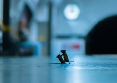 When mice squabbled on the subway platform!