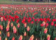 'Majestic' Tulip Garden in J-K to open from Thursday