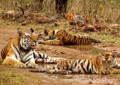 Ken-Betwa project: 'Tiger population won't survive'