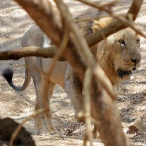 The caged lions of Gir