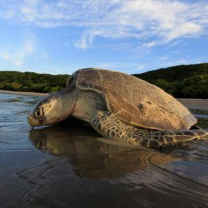 Meet the man who helped bring turtles back to Mumbai's beaches