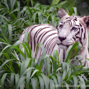 Have you seen a white tiger?