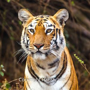 Tiger diaries: Meet Maaya from Tadoba