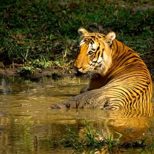 In pix: The tigers of India