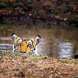 Why we must save our tigers