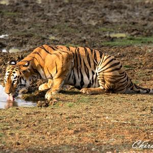 In pix: The fierce and famous tigers of Tadoba