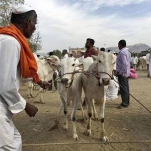 Unable to sell cattle, farmers have a beef with Modi's BJP