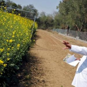 Is GM mustard a hazard for honey bees?