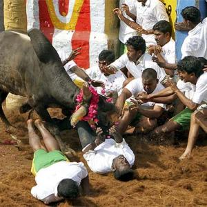 IN PIX: A ringside view of Tamil Nadu's Jallikattu