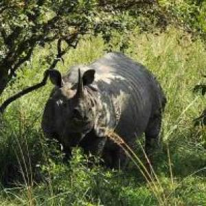 Poachers have hunted down 193 rhinos since 2001 in Assam