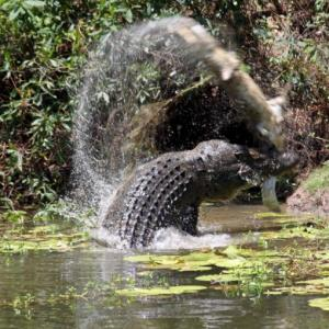 MUST SEE: Two crocodiles fight to the death