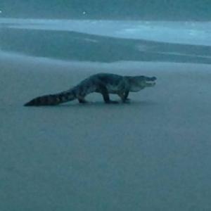 OMG! Man spots crocodile on Goa beach