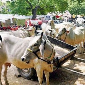 Madras HC stays ban on sale of cattle for slaughter