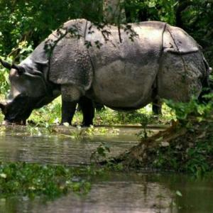 No home for rare rhinos: Floods in Assam spell doom