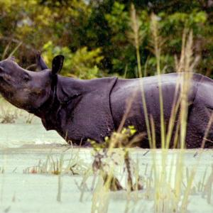 Hours after Royal visit, another rhino killed at Kaziranga