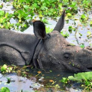 Assam flood: Over 200 animals drown at Kaziranga