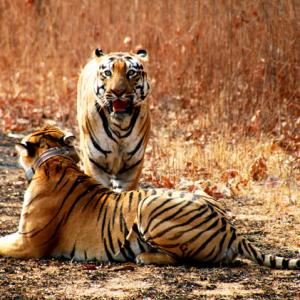 Are Adivasis being driven out to save the tiger?