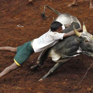 NO Jallikattu in Tamil Nadu this year, says SC