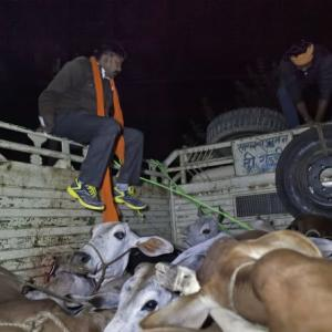 'If I smuggle cows, should I be killed?'