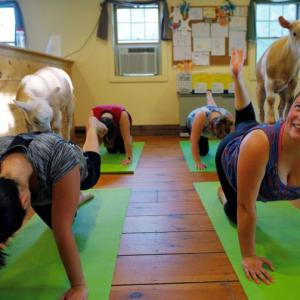 Would you try 'Goat Yoga'?