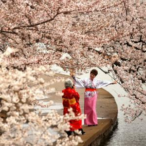 With cherry blossoms in bloom, Washington is the place to see