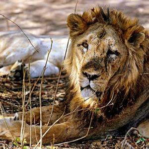 'We will do whatever is required to save the lions'