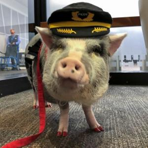 Meet LiLou, the pig who's helping out air passengers