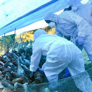 Bird flu outbreak: Centre issues advisory to 4 states