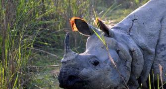 The return of the one-horned rhino