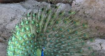 Reader pics: A peacock dance in summer