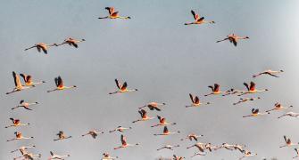 SEE: Stunning flamingos take flight