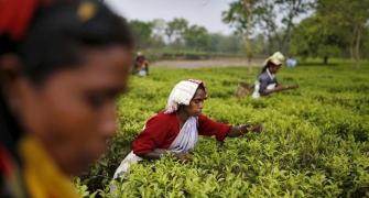 As gardens stay shut tea firms suffer heavy losses