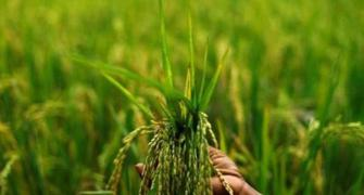 India aims for 298.3 m tonne foodgrain output in 20-21