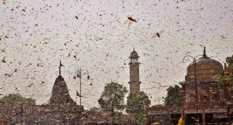 Locust invasion puts summer crop in states at risk