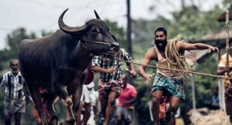 What sending Jallikattu to the Oscars means