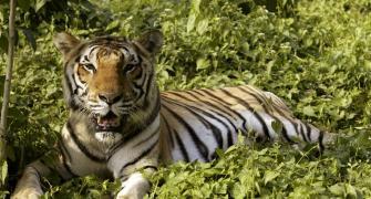Tiger numbers roaring in India, up from 1,400 to 2,226