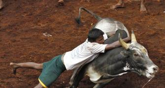 Can't have gladiator type sport in India: SC on Jallikattu