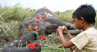 Why must so many elephants die on the railway tracks?
