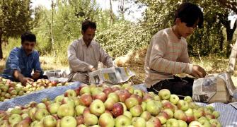 'Pear, apple harvest rotting in Kashmir'
